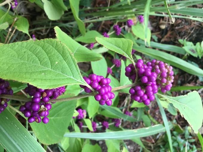 Callicarpa Americana (Turkey Berry)